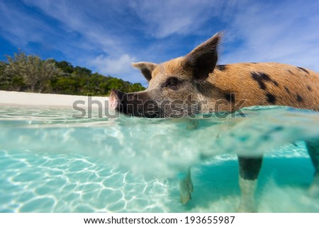 Famous swimming pig in a water at beach on Exuma Bahamas - stock photo