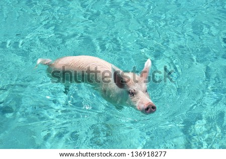 Famous swimming Pig of Exumas, Bahamas - stock photo