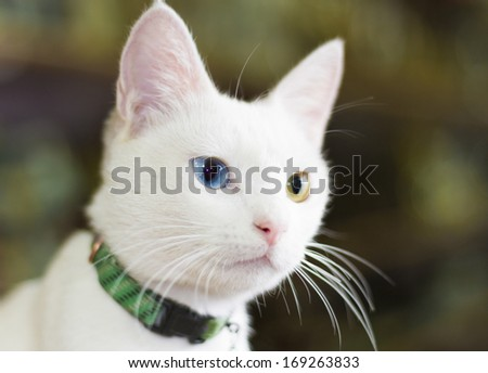 Famous Van cat with colorful eyes - stock photo