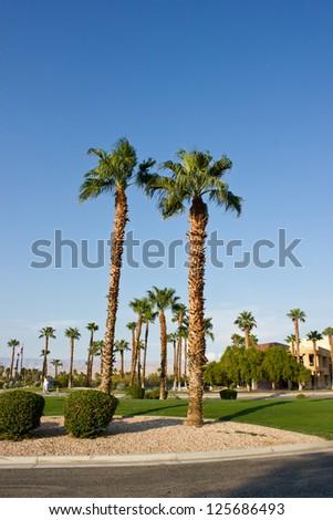 Fan Palms Trees Palm Springs California - stock photo