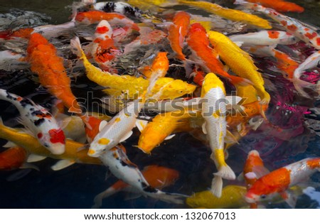 fancy carp fish - stock photo