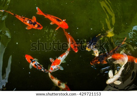 Koi pool stock photos images pictures shutterstock for Koi fish swimming pool