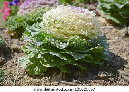 Fancy colored cabbage is grown as an ornamental plant - stock photo
