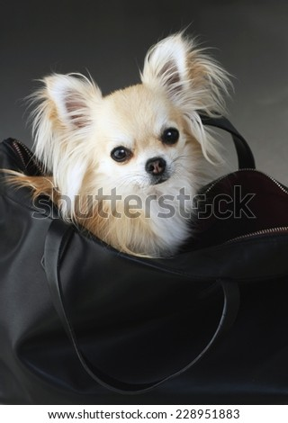 Fancy fashion chihuahua waiting for shopping in a black faux leather bag - stock photo