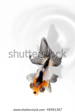 fancy goldfish from top view - stock photo