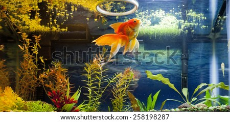 Fancy Red Gold Fish snacking on duck weed from the water surface - stock photo