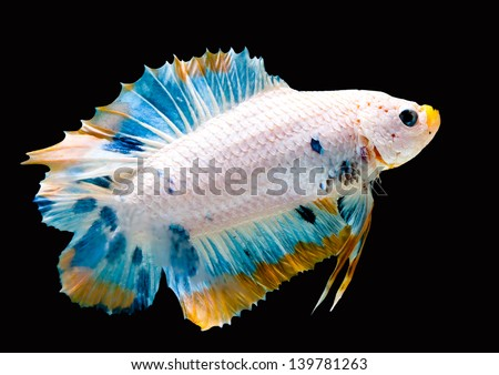 Fancy Siam Fighting Fish Isolated on Black - stock photo