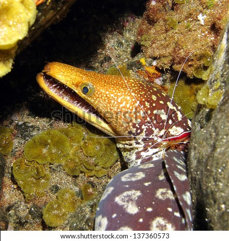 Fangtooth Moray or Tiger Moray, Enchelycore anatina, in Tenerife, Spain. - stock photo