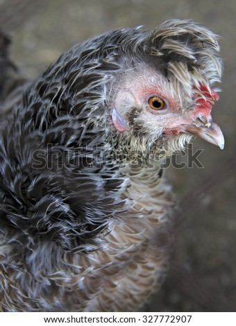Fanny Breeds curly chicken in the farm - stock photo