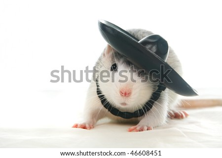 Fanny rat with hat of a white background - stock photo