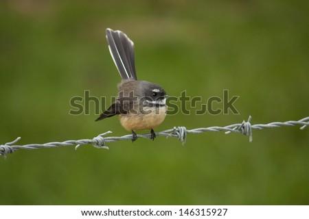 Fantail Bird - stock photo
