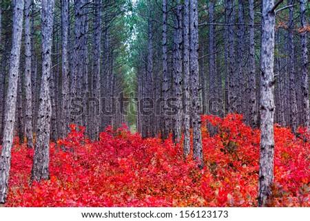 Fantastic forest with Cotinus coggygria. Autumn leaves. Crimea, Ukraine, Europe. Beauty world. - stock photo