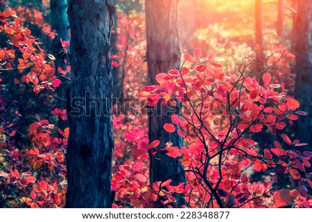 Fantastic forest with Cotinus coggygria. Dramatic scene. Red autumn leaves. Crimea, Ukraine, Europe. Retro style filter. Instagram toning effect. Beauty world. - stock photo