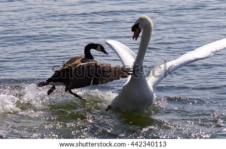 Fantastic moment with the Canada goose attacking the mute swan on the lake - stock photo