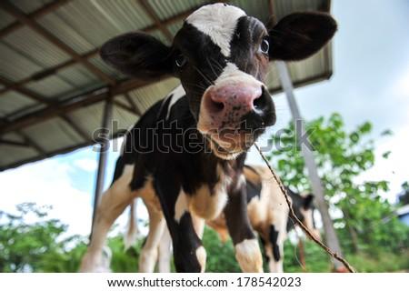 Farm animal. little calf on green summer meadow - stock photo