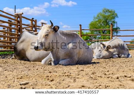 farm animals big white cow on the farm - stock photo