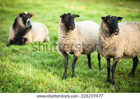 Farm animals: black-head sheep grazing on a lovely green pasture - stock photo