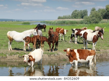 farm animals cows and horses on river - stock photo