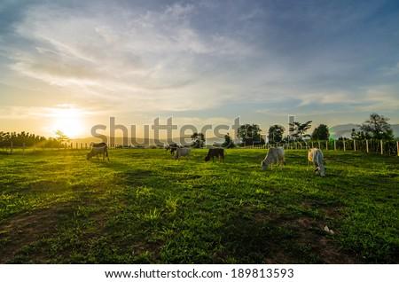 Farm cow on sunrise - stock photo