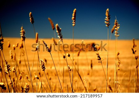Farm crop under hot and dry conditions featuring rural Australia, dry land farming in drought stricken country. Barley, Oats, Harvest with square Hay Bales - stock photo