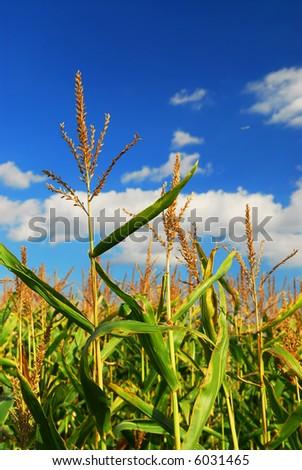 Farm field with growing corn under blue sky. - stock photo