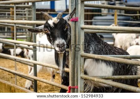 Farm goat with head through pen rails - stock photo