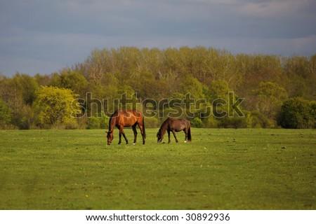 farm horses graze in a green pasture - stock photo