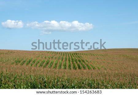 Farm landscape: white cloud in blue sky hovering over corn field, maize field - stock photo