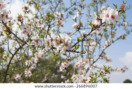 Farm life, blossoming almond trees - stock photo