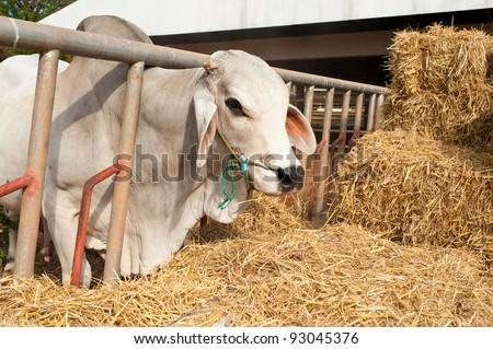 Farm of Cow - stock photo