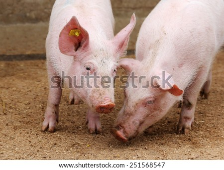Farm pigs in sty - stock photo