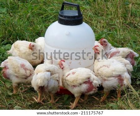Farm raised chickens  - stock photo
