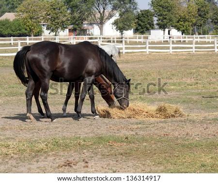 farm with horses eating hay - stock photo