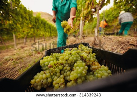 Farm worker filling basket of green grapes in the vineyards during the grape harvest. Woman putting grapes into the plastic crate. Focus on grapes in container. - stock photo