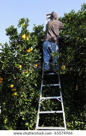 Farm worker picks oranges in Central California grove - stock photo