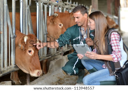 Farmer and veterinarian checking on cows - stock photo