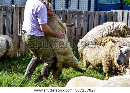 Farmer catching the sheep in the farm. - stock photo