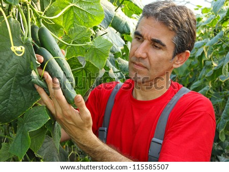 Farmer checking cucumber in a greenhouse - stock photo