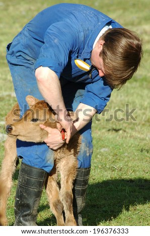 Farmer ear tagging newborn calf, West Coast, New Zealand - stock photo
