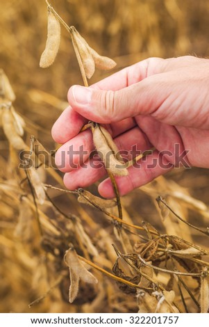Farmer hand in harvest ready soy bean cultivated agricultural field, vertical image, selective focus - stock photo