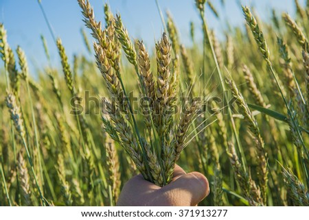 Farmer hands holding barley in beautiful sunset light - stock photo