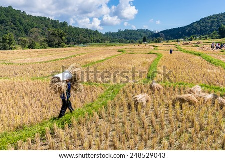 farmer harvest rice in Thailand - stock photo