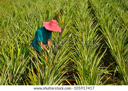 Farmer harvesting in pineapple farm , fruits field - stock photo