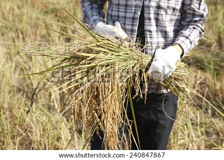 farmer harvests rice in field - stock photo