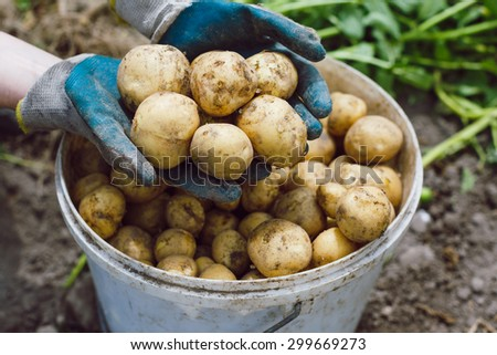 Farmer holding freshly harvested unwashed potatoes in his hands. - stock photo