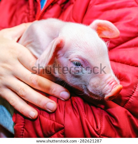 Farmer holding on hands young piglet of pietrain breed - stock photo
