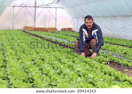 Farmer in Greenhouse. Growing fresh butter lettuce in a greenhouse. - stock photo