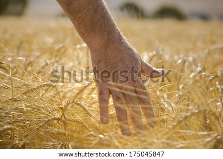 Farmer inspects ripe wheat field - stock photo