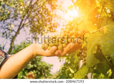 farmer makes grape quality control - stock photo
