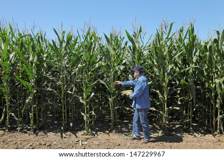 Farmer or agronomist inspecting corn plant in field - stock photo